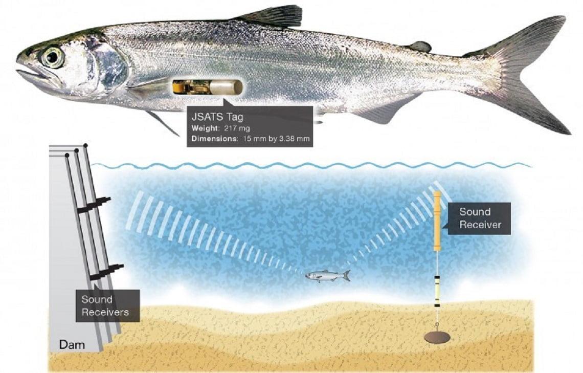 Somon Balığı Bulucu İle Balıklar Tedavi Ediliyor