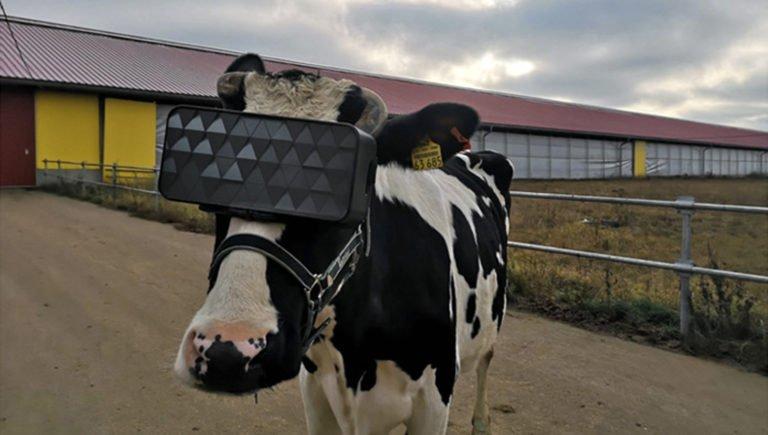 Gözlüklü inekler daha kaliteli süt ürettiler