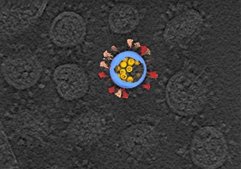 Koronavirüsün insan hücresine girişi süper bilgisayarlarla görüntülendi!