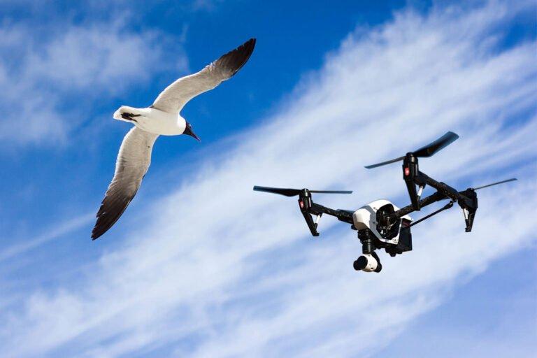 Kızgın martı drone yüzünden çıldırdı