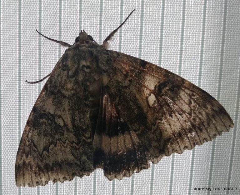 Kuş büyüklüğünde kelebek Çernobil'de yakalandı: Bilim insanları şaşkın!