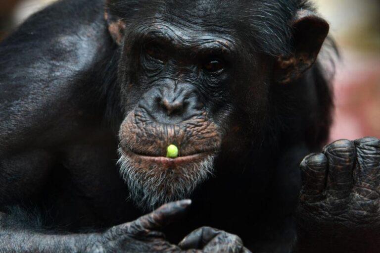 Yeni bir bakteri keşfedildi! Şempanzeleri öldürüyor